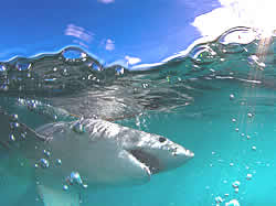 White Shark Ventures shark cage diving Gansbaai