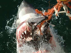 Great White Sharks in Cape Town, Shark Diving and Adventure
